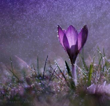 crocus and water